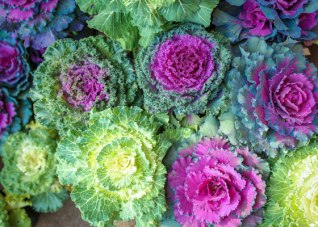 ornamental-cabbage-kale-fall-SS_305049035-560X400.jpg
